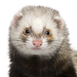 Close-up of Ferret, 1 year old Royalty Free Stock Images