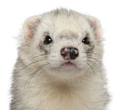 Close-up of ferret, 3 years old Royalty Free Stock Photos