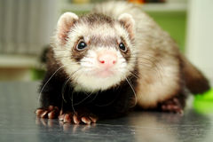 Close-up of ferret, 3 years old, on the iron table Royalty Free Stock Image
