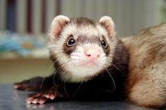 Close-up of ferret, 3 years old, on the iron table Stock Photography