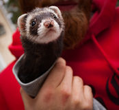 Close Up Ferret royalty free stock photo