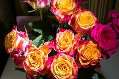 Close-up of festive fresh rose with original yellow and crimson coloration. Image with romantic spirit. Festive rose bouquet is symbol of happiness and love royalty free stock photos