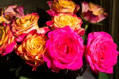 Close-up of festive fresh roses with original yellow and crimson coloration. royalty free stock photo