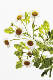 Close up of feverfew flowers Royalty Free Stock Images
