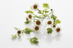 Close up of feverfew flowers Stock Image
