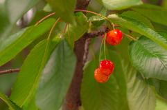 Close-up of a few cherries hanging from a branch with green leav. Es and some branches Royalty Free Stock Photo