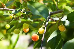 Close-up of a few cherries hanging from a branch with green leaves in the garden. royalty free stock photo