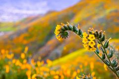 Close up of Fiddleneck Amsinckia tesselata wildflowers blooming on the hills of Walker Canyon, Lake Elsinore, California royalty free stock image