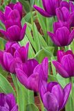 Close up of a field of  purple tulips. Close up of a field of beautiful purple tulips Royalty Free Stock Photo
