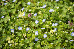 Close up field of blue spring flowers Royalty Free Stock Image
