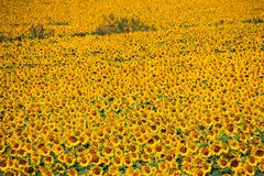 Close up of field with bright shining countless sunflowers - Andalusia royalty free stock photos