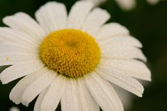 Field daisy in bloom stock photography