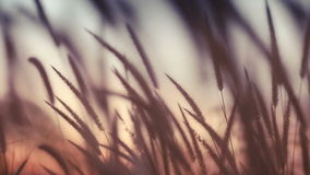 Close-up field of feather grass at sunset stock video