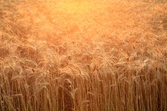 Close up of a field with golden, ripening wheat back illuminated by the setting sun. Bright agricultural background. Royalty Free Stock Photos