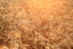 Close up of a field with golden, ripening wheat backlit by the setting sun. Bright agricultural background. Shallow depth Royalty Free Stock Photos
