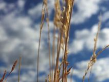 Close Up on Field Grass with Blue Skies and Clouds in background. Macro Snapshot of open meadow wheat grass with blurry cloudy blue skies in the background stock images