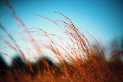 Close-Up, Field, Grass, Outdoors Royalty Free Stock Photo
