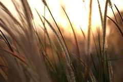 Close up field of grass during sunlight, sunset, set rise Royalty Free Stock Image