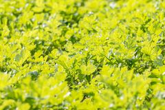 Close up of a field of green leaves. A close up of a field of green leaves in the sun Royalty Free Stock Image