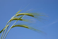 Close-up of the field with green oats Royalty Free Stock Photos