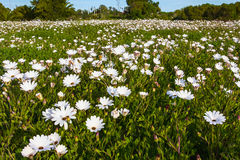 Close-up of field of hundreds of white daisies Stock Photography