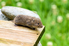 Close up on field mouse running on a wooden board in the garden.  Royalty Free Stock Photography
