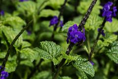 Close-up of field of purple flowers with green leaves stock photography