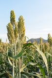 Field of Sorghum or Millet. Close up field of Sorghum or Millet an important cereal crop Stock Photo