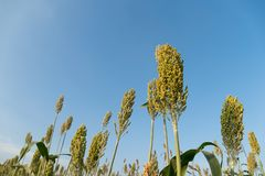 Field of Sorghum or Millet. Close up field of Sorghum or Millet an important cereal crop Royalty Free Stock Photography