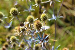 Close-up of field thistle with a blue stem stock photo
