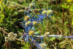 Close-up of field thistle with a blue stem royalty free stock image