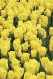 Close up of a field of yellow tulips Stock Photography