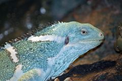 Fiji banded iguana. This is a close up of a Fiji banded iguana royalty free stock images