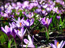 Close-up of a filed of crocus vernus flowers Royalty Free Stock Photography