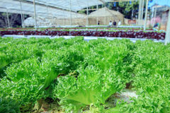 Close up Filey Iceberg lettuce Hydroponic vegetables in agricult Royalty Free Stock Image