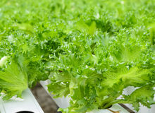 Close up of Fillie Iceburg leaf lettuce vegetables plantation Royalty Free Stock Photos