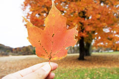 Close up fingers holding an orange maple leaf. In front of the maple tree background royalty free stock photography