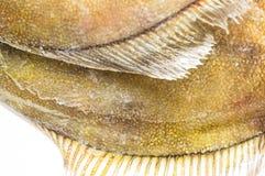 Close-up fins fresh flatfish Stock Photo