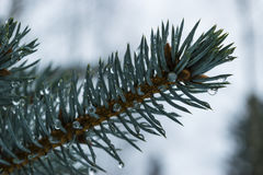 Close up of fir branch with drops of water stock images