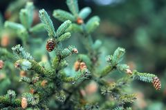 Close-up Fir branches with cones, winter. Christmas, Happy new year. Natural background, trendy green colors by Pantone. Close-up Fir branches with cones. Winter royalty free stock photo