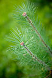 Close up of fir needle Royalty Free Stock Photo