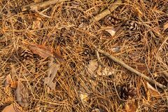 Close up of fir needles and cones in the fall in the forest. Background texture wallpaper. stock image