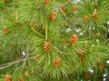A close up of a fir tree Stock Photography
