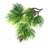 Close up of fir tree branch Stock Photography