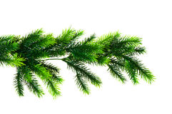 Close up of fir tree branch Royalty Free Stock Photo