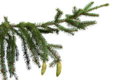Close up of fir tree branch isolated. On white Stock Photos
