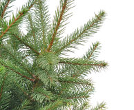 Close up of fir tree branch Royalty Free Stock Images