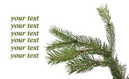 Close up of fir tree branch Stock Photos