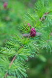 Close-up of fir tree branches with cones and needles Stock Photography