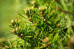 Close up of fir tree Stock Photo